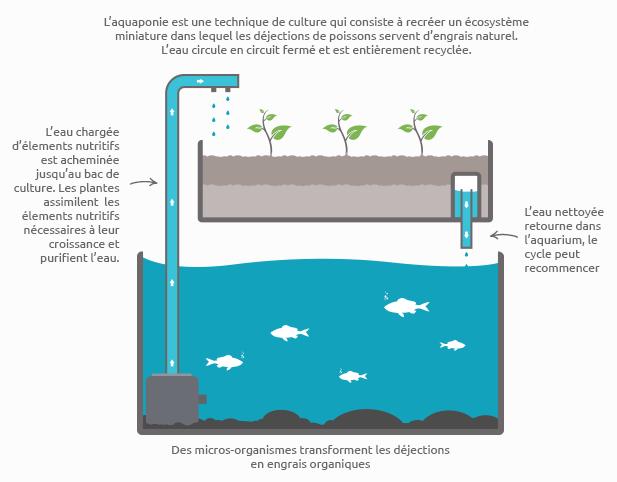 Schéma du cycle de l'aquaponie: L'aquaponie est une technique de culture qui consiste à recréer un écosystème miniature dans lequel les déjections de poissons servent d'engrais naturel. L'eau circule en circuit fermé et est entièrement recyclée. L'eau chargée d'éléments nutrifis est acheminée jusqu'au bac de culture. Les plantes assimilent les éléments nutritifs nécessaires à leur croissance et purifient l'eau du système aquaponique. L'eau nettoyée retourne ensuite dans le bassin ou l'aquarium et le cycle peut recommencer. L'aquaponie est très vertueuse comme vous pouvez le voir. Les systèmes et kits aquaponiques sont très simples à réaliser et commencent même à se trouver de plus en plus en vente sur les boutiques d'aquaponie. Investir dans un kit aquaponique est un acte que vous ne regretterez jamais.