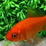 Fiche technique: poisson rouge