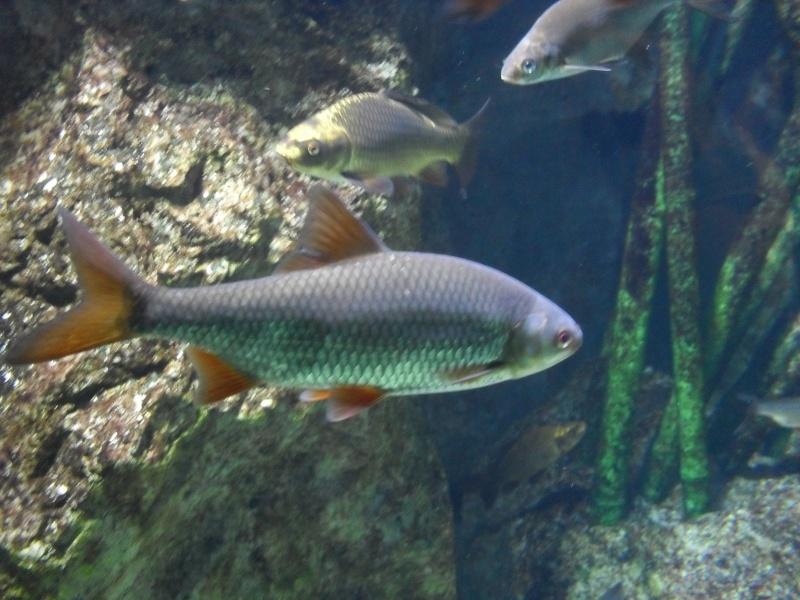 Fiche technique le gardon aquaponie for Nourriture poisson rouge aquaponie
