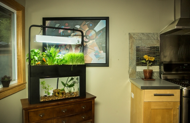 aquaponie-aquarium