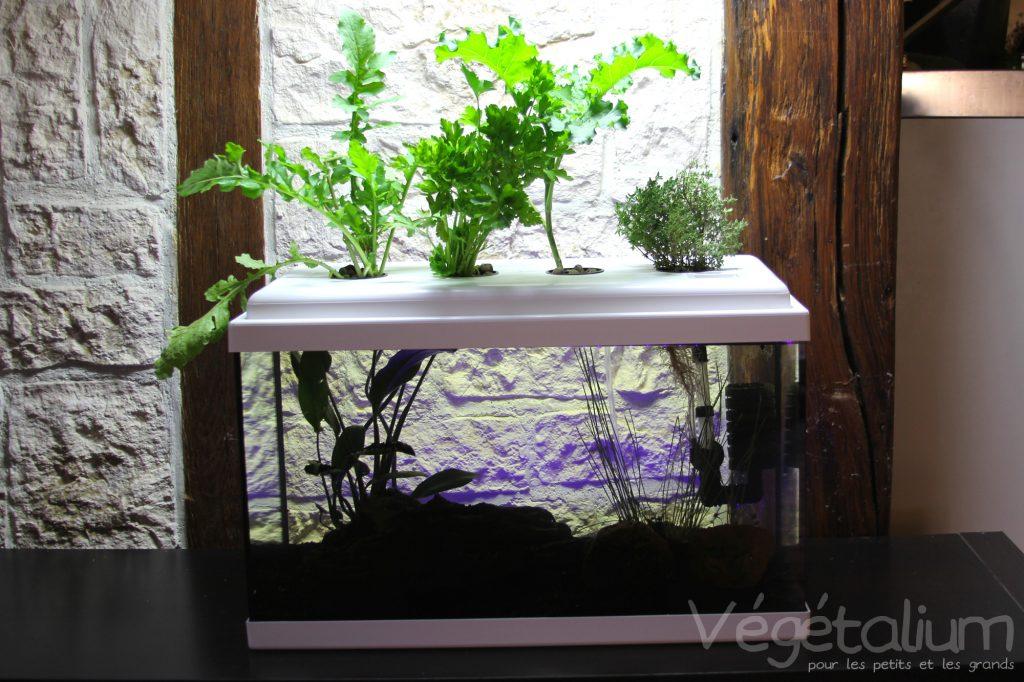 Transformer un aquarium en syst me aquaponique tutoriel for Nourriture poisson rouge aquaponie