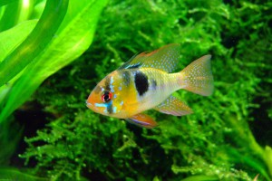 butterfly-cichlid-379074_1280