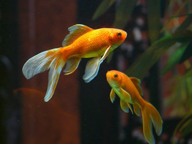 La reproduction des poissons aquaponie for Reproduction poisson rouge
