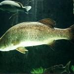 Nourrir les poissons en aquaponie