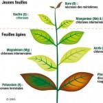 Carences en éléments nutritifs dans les systèmes aquaponiques