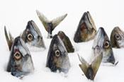 poisson hiver
