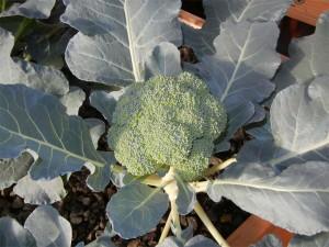 brocolis-aquaponie