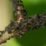 Lutter contre les insectes ravageurs et contrôler les maladies en aquaponie