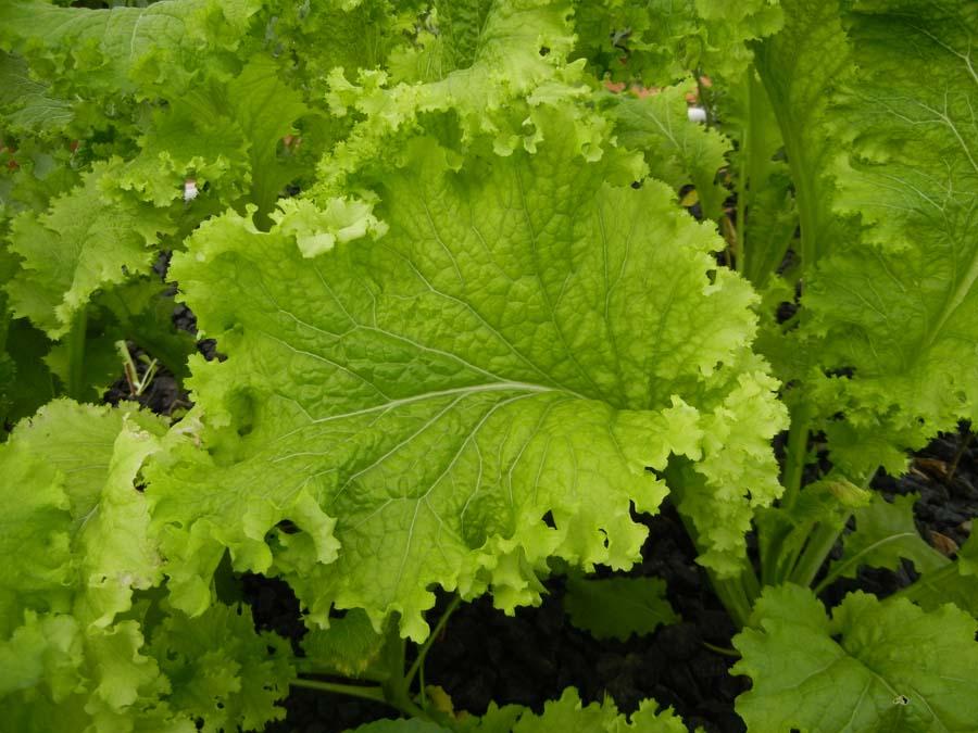 Guide de culture pour 12 plantes communes en aquaponie for Plante wasabi