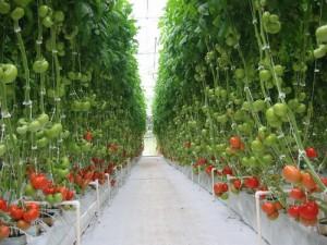 tomates-hydroponie