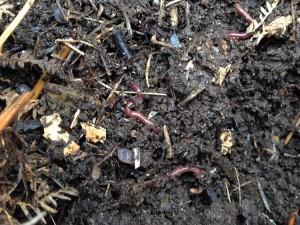 vers-de-terre-permaculture