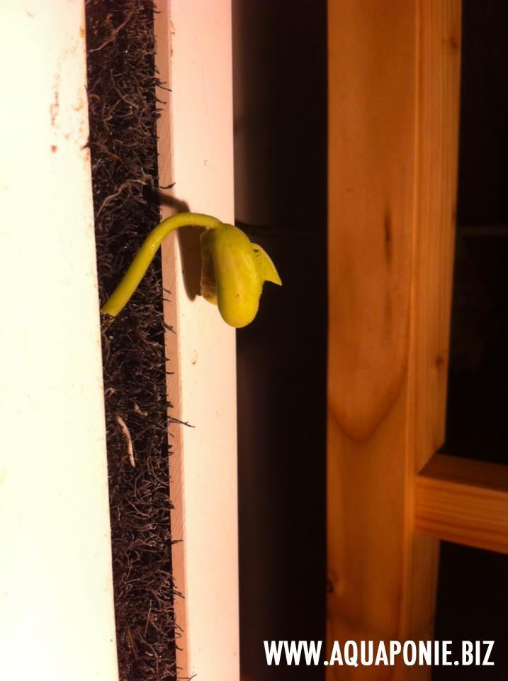 semis-direct-aquaponie
