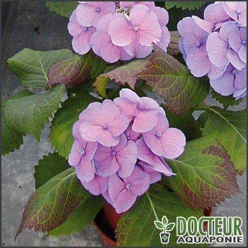 feuilles-violettes
