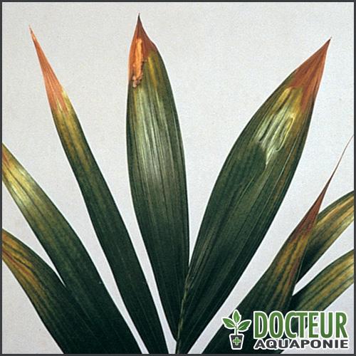 pointes-des-feuilles-aquaponie