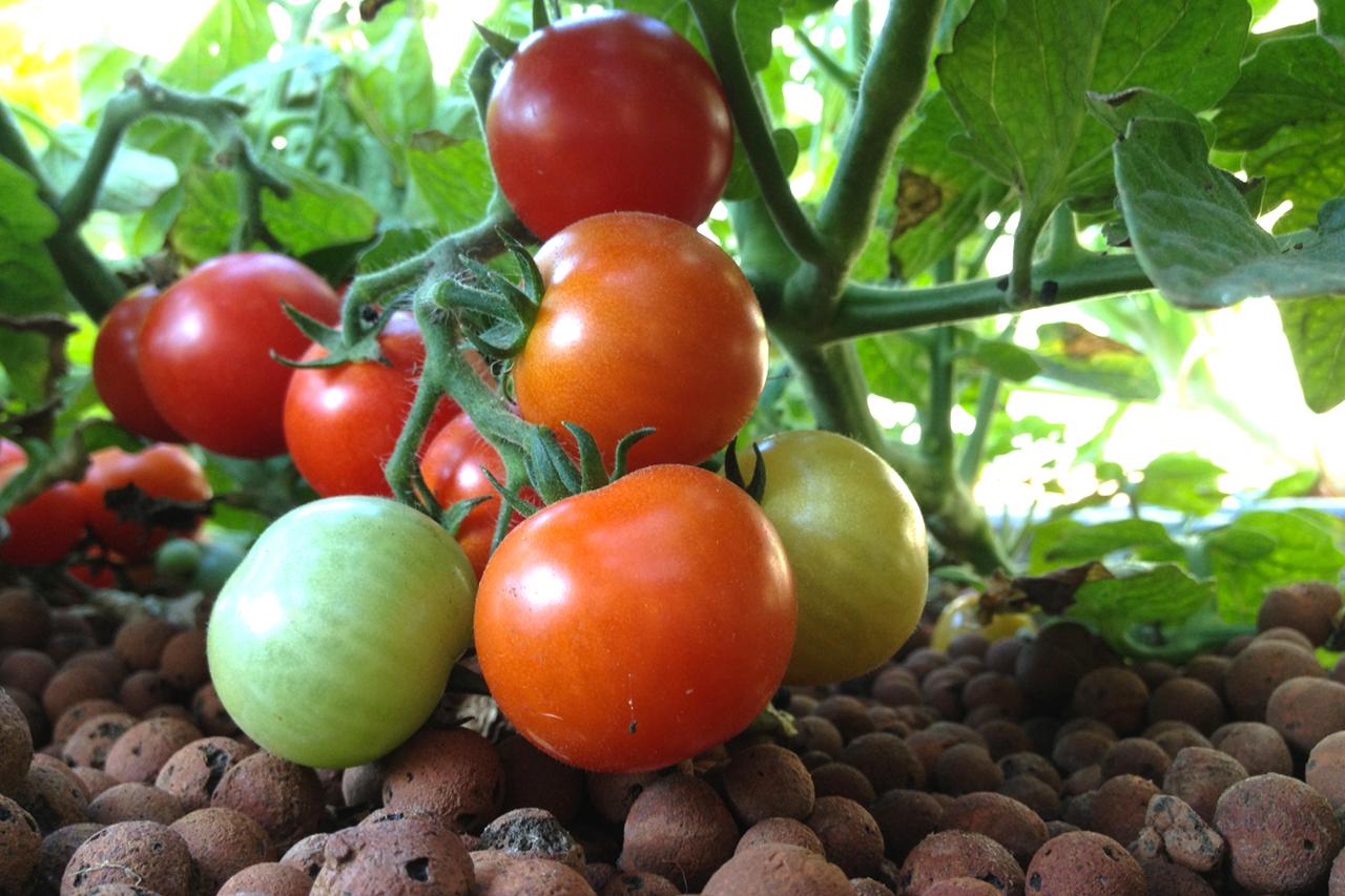 Cultiver des tomates en aquaponie