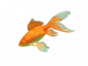 poisson rouge aquaponie