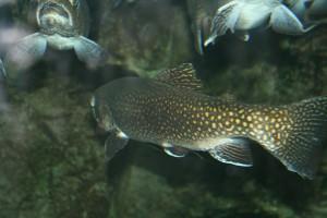 trout-233570_1280