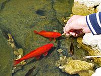 nourrir les poissons