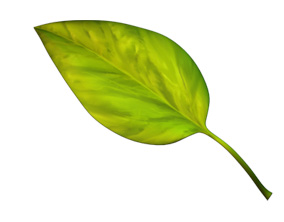 carence-azote-aquaponie