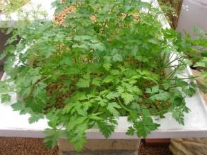 persil-aquaponie