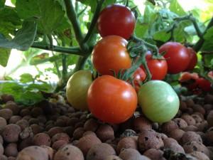 tomates-aquaponie