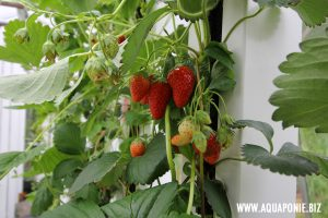 fraises-zipgrow-france