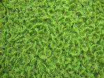 Cultiver l'azolla caroliana en aquaponie